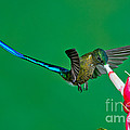 Violet-tailed Sylph by Anthony Mercieca