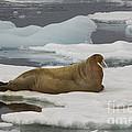 Walrus Resting On Ice Floe by John Shaw