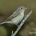 Warbling Vireo by Anthony Mercieca