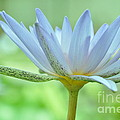 Water Lily  2 by Allen Beatty