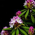 West Virginia State Flower by Thomas R Fletcher