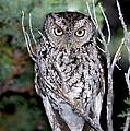 Whiskered Screech Owl by Anthony Mercieca