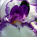 White And Purple Iris 2 by David Hohmann