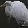White Heron Portrait by Dale Powell