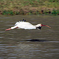 White Ibis In Flight by Savannah Gibbs