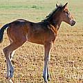 Wild Horse Foal by Millard H. Sharp
