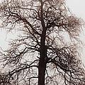 Winter Tree In Fog by Elena Elisseeva