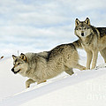 Wolves In Winter by John Shaw