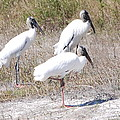 Wood Storks by Robert Floyd