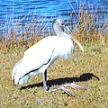 Woodstork by Robert Floyd