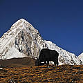 Yaks Grazing In A Himalayan Valley by Mark Rasmussen