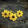 3 Yellow Flowers by Aged Pixel