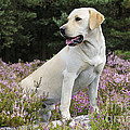 Yellow Labrador Retriever by John Daniels