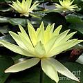 3 Yellow Lotus by Joshua Bales