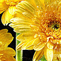 3 Yellow Painterly Gerber Daisies by Andee Design