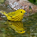 Yellow Warbler by Anthony Mercieca