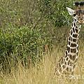 Young Giraffe In Kenya by John Shaw