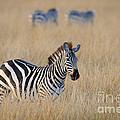 Zebra by John Shaw
