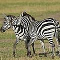 Zebra Males Fighting by John Shaw
