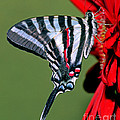 Zebra Swallowtail Butterfly by Millard H. Sharp