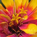 Zinnia Named Swizzle Scarlet And Yellow by J McCombie