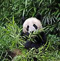 Giant Panda by John Shaw