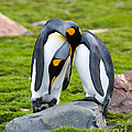 King Penguin by John Shaw