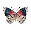 30 Perisama Vaninka Butterfly by Amy Kirkpatrick