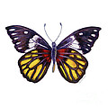 31 Delias Henningia Butterfly by Amy Kirkpatrick