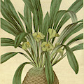 Botanical Print Or English Natural History Illustration by Quint Lox