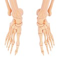Human Foot Bones by Pixologicstudio/science Photo Library