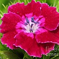 Sweet William From The Super Duplex Bluepoint Mix by J McCombie
