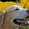 Yellow Labrador by Steven Lapkin