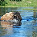 Buffalo by Elijah Weber