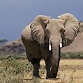 Elephant Dafrique Loxodonta Africana by Gerard Lacz