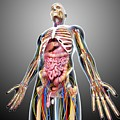Male Anatomy by Pixologicstudio/science Photo Library