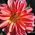 Dahlia From The Showpiece Mix by J McCombie