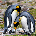 King Penguins by John Shaw