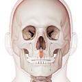 Human Facial Muscles by Sebastian Kaulitzki/science Photo Library