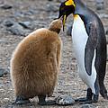 King Penguins by John Shaw