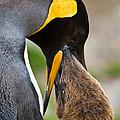 King Penguin by John Shaw