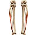 Leg Muscles by Sebastian Kaulitzki