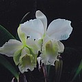 Orchid by Robert Floyd