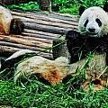 3722-panda -  Acanthus Sl by David Lange