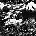 3722-panda -  Advanced Pencil Sketch by David Lange