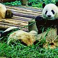 3722-panda -  Colored Photo 1 by David Lange