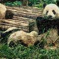 3722-panda -  Colored Photo 2 by David Lange