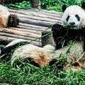 3722-panda -  Embossed Sl by David Lange