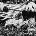 3722-panda -  Graphite Drawing 2 Sl by David Lange