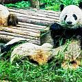 3722-panda -  Oil Stain Sl by David Lange